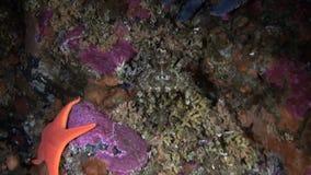 Zeester en gemaskeerde krab op zeebedding als achtergrond onderwater in oceaan van Alaska stock footage