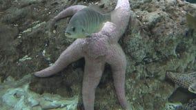 Zeester en het mariene leven stock footage