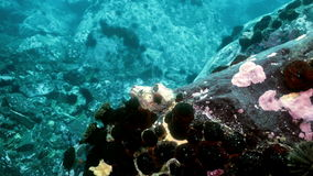 Zeester en zeeëgels onder rotsen op zeebedding stock footage