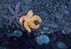 Zeester en zeeanemoon Stock Foto's
