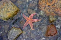 Zeester in het zeewater Stock Foto