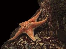 Zeester onder water Stock Foto
