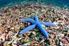 Zeester op een dood koraalrif Stock Foto's