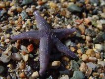 Zeester op het Strand stock foto