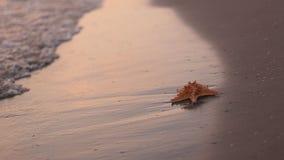 Zeester op het strand stock video