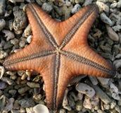 Zeester op koraalstenen Stock Foto