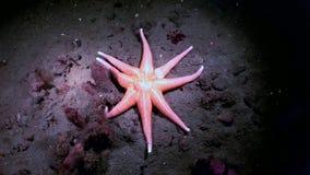 Zeester rode kleur onderwater op zeebedding van Witte Overzees stock footage