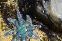 Zeester in water Royalty-vrije Stock Afbeeldingen
