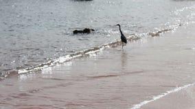 Zeevogel die een vis op de kust vangen stock video