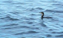 Zeevogel het Zwemmen Royalty-vrije Stock Afbeeldingen