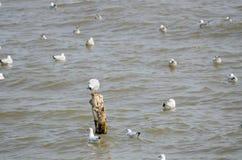 Zeevogel witte Zeemeeuw Stock Foto