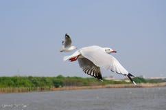 Zeevogel witte Zeemeeuw Royalty-vrije Stock Foto