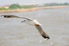 Zeevogel witte Zeemeeuw Stock Afbeeldingen