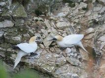 Zeevogels bij het Vogelreservaat van Bempton stock afbeelding