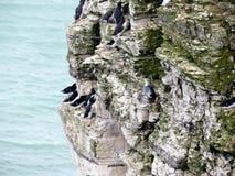 Zeevogels bij het Vogelreservaat van Bempton royalty-vrije stock afbeelding