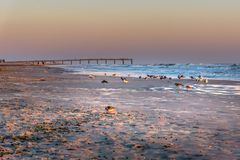 Zeevogels die op vroege zonsopgang bij het Strand van Miami visserijpijler tijdens gouden uur paraderen royalty-vrije stock afbeelding