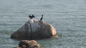 Zeevogels die zich aan een rots vastklampen (1 van 1) stock footage
