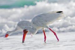 Zeevogels in Oceaan Stock Foto