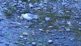 Zeevogeltribunes in ondiepe rivier die karkas van zalm in daling eet stock footage