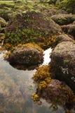 Zeewier Stock Foto