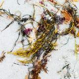 zeewier Stock Afbeelding