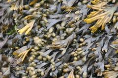 zeewier stock afbeeldingen