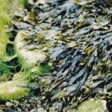 Zeewier die de rotsen krabben Stock Afbeeldingen