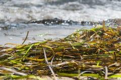 Zeewier die langs de oever op een Long Island-strand op een zonnige en warme de zomerdag liggen royalty-vrije stock foto's