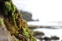 Zeewier en mariene installaties op een steen bij de kust Stock Fotografie