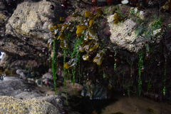 Zeewier het hangen van rotsen op een strand stock afbeeldingen