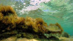 Zeewier onderwater met vissen stock footage