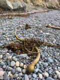 Zeewier op een steenachtig strand Royalty-vrije Stock Foto