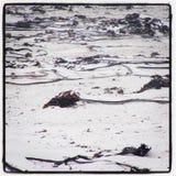 Zeewier op het strand Stock Afbeeldingen