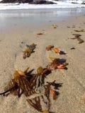 Zeewier in zand Stock Afbeeldingen
