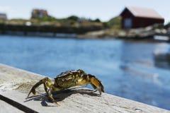 Zeewierkrab een zonnige dag stock afbeelding