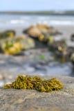 Zeewieronduidelijk beeld Stock Foto's