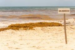 Zeewierteken en flarden van Sargassum-zeewier stock fotografie