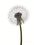 zegarowego dandelion odosobniony seedhead biel Fotografia Royalty Free