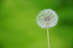 zegarowy dandelion Fotografia Stock