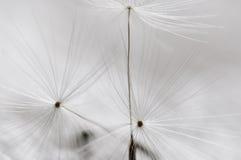 zegarowy dandelion Obraz Stock