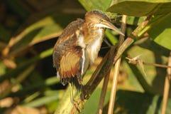 zegnij bąka Brazos Houston exilis ixobrychus park strzały mały stan Teksas najbliższego Zdjęcie Royalty Free