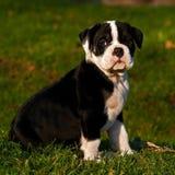 Zehn-Wochen-alter weiblicher Welpe alte englische Bulldogge Stockbild