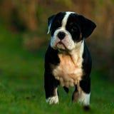 Zehn-Wochen-alter weiblicher Welpe alte englische Bulldogge Stockfotos