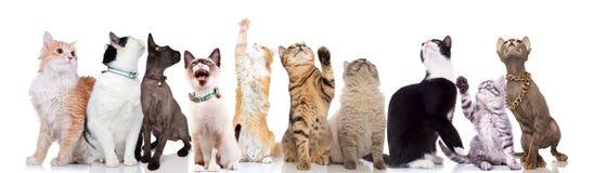 Zehnerklub nette Katzen schaut oben stockfoto