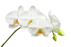 Zehntägige alte weiße Orchidee lokalisiert auf weißem Hintergrund Stockbilder