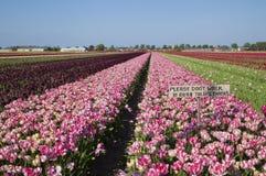 Zeichen: Bitte gehen Sie nicht in unsere Tulpen auf dem Feld Stockfoto
