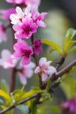 Zeichen des Frühlinges mit blühendem Pfirsichbaumrosa blüht Stockfotografie