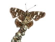 Zeichnen Sie Schmetterling auf einer Niederlassung auf, die von unterhalb, Araschnia-levana angesehen wird Stockbild