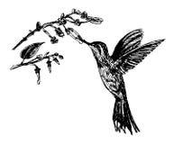 Zeichnende kleine Vogelkolibris und blühende Niederlassung, Skizzenillustration Stockbild