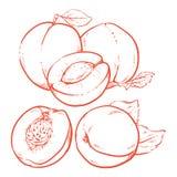 Zeichnende süße Aprikosen mit Blättern auf weißem Hintergrund Frische Erbse Stockbilder